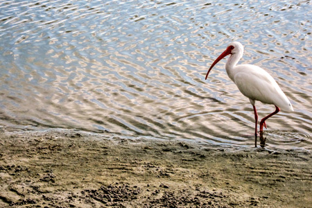 1.12WhiteIbis_edited-1w