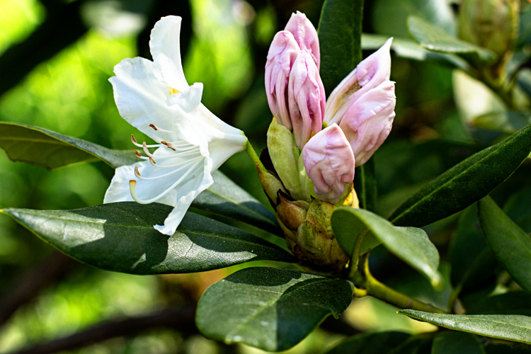 5.2Rhododendron_blog